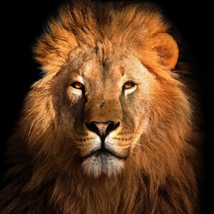 3483306-00000 Tiere - Lion II