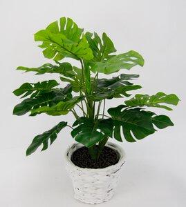 3234129-00000 Splitphilopflanze 50 cm