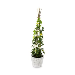3234131-00000 Minikletterrose 90 cm
