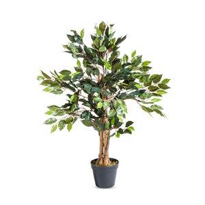 3095444-00000 Ficuspflanze im Topf