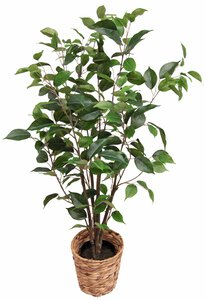 2993858-00000 Ficus grün