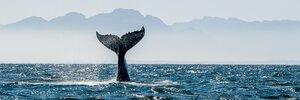 3307982-00000 Tiere WaleWalfluke