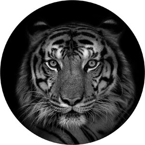 3483345-00000 Tiere - Tiger II